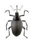 Insectes des céréales